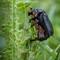 Beetle Babies