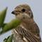 Woodchat Shrike (juvenile): A 1200 pixel crop from the original.