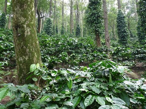 Coffe Garden, Nilgiri hill, Araku, India