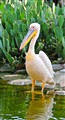 Arabian Pelican