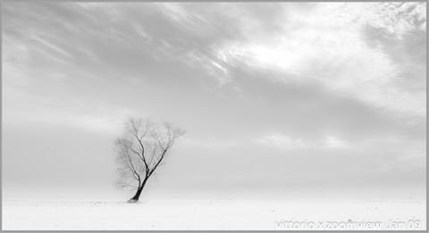 oak tree in rice fields in winter