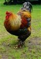 Rooster in DE Haan Belgium