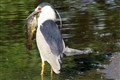 Black Crowned Heron w Catfish