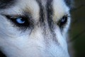 Husky look
