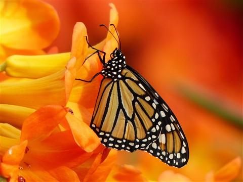 Panasonic FZ200, Butterflies, Botanical Gardens, Montréal, 17 Fébruary 2013   (37)