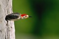woodpecker darting from nest hole