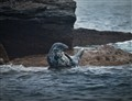 blue spotted seal nova scotia (1 of 1)