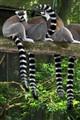 Black & White Tails
