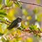 Hummingbird Big Sur M