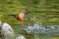 common kingfisher_smv02