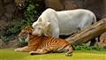 Tiger tenderness