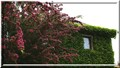 Common hawthorn tree