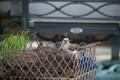 Texas Mocking bird Gathering Nest Building Material