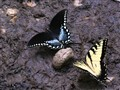 Eastern Tiger Swallowtail pair