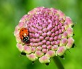 Lady Bug on Remnants of a Flower Blossom
