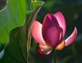 Lotus-and-Leaf-#4-Edit-2