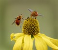Tachinid Flies on a Coneflower