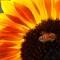 Sunflower 08