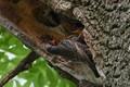 Starling, Sturnus vulgaris, Škorec obyčajný
