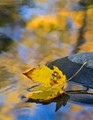 Autumn Leaf & Stream