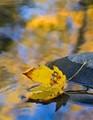 Autumn Leaf & Stream