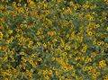 Wild Kansas Sunflowers