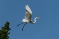 Snowy egret launching out of a treetop.