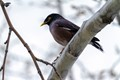 Common Myna in deep thought!