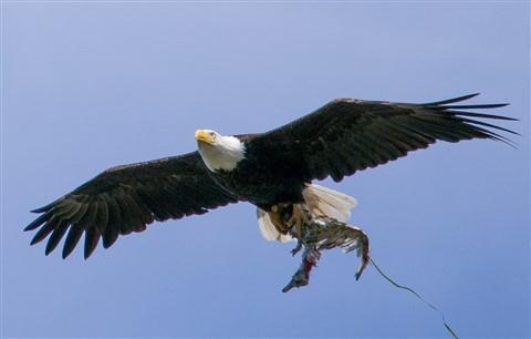 eagle_gull-1