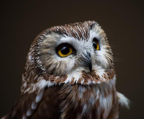 Alaska Owl-1