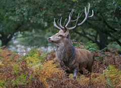 Red Deer Stag looking for his harem