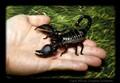 Frack, an African Emperor Scorpion