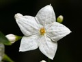 Jasmine Nightshade flower