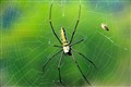 Indian forest Spider