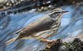 Northern water thrush