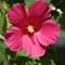 Hibiscus - 50-200 tele