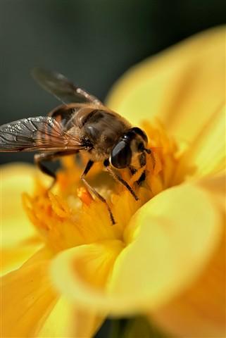 Foraging Bee: Yellow Dahlia