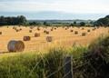 Golden harvest in Kent