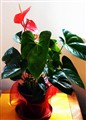 Anthurium in the livingroom