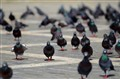 Pigeon Riot