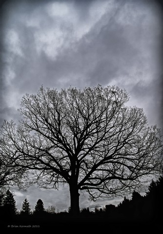 Large oak tree (Quercus species - Fagaceae) under a stormy sky