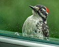Nuttall's Woodpecker, male, outside window looking in....hence peeping.  I