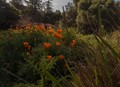 Descanco Gardens, SoCal - California Poppies