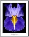 Angry Iris