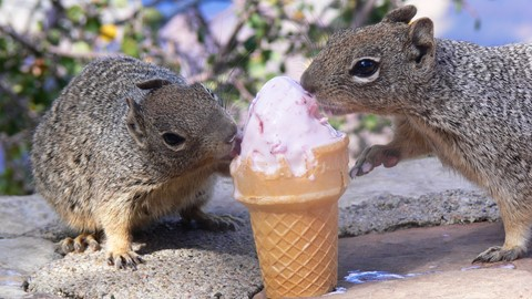 Two Rock Squirrels eating Ice Cream (1)