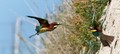 Bee-eaters having a fight