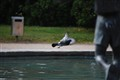 fountain pigeon