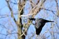 Blackbird fly-by
