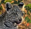 Leopard cub-Botswana