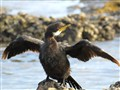 Young Shag drying